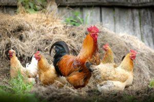 business ideas poultry farming